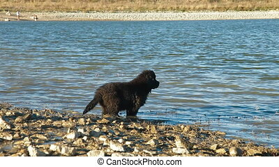 Newfoundland Dogs Enjoying In Water