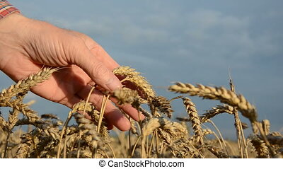 farmer looking wheat ears condition