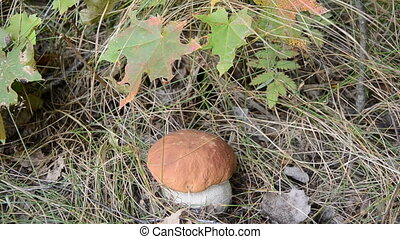 pull fresh cep (Boletus edulis) in autumn forest