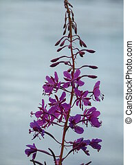 Rose Bay Willowherb - Pink flower of rose bay willow herb...