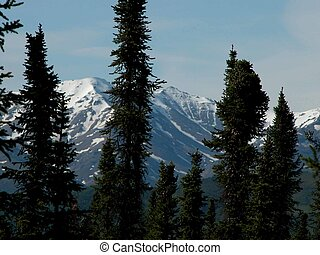 Alaskan Sitka Spruce - Sitka spruce trees are silhouetted...