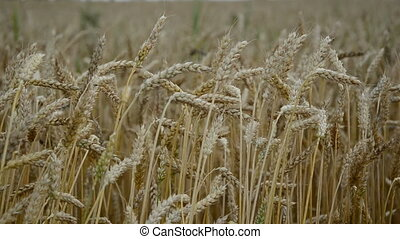 wheat ears in summer wind