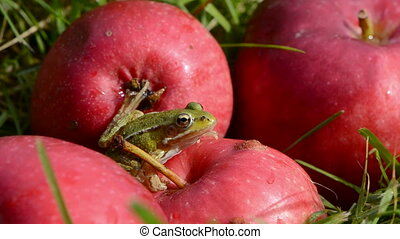 green frog on red summer apples in garden