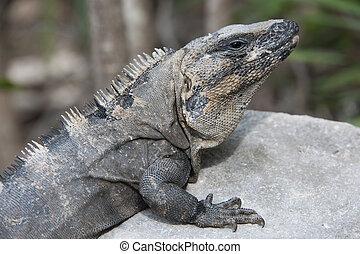 close up image of iguana