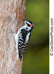 downy woodpecker grabbing onto tree