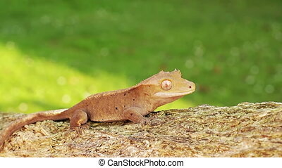 gecko - A little orange colored baby lizard gecko moving...