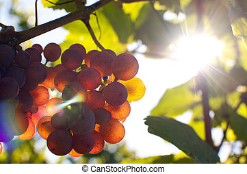 Bunch of grapes by sunshine - Close-up of a bunch of grapes...