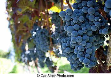 Red grapes - Red bunches of grape in the vineyard before the...