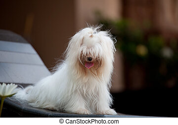 white maltese dog sitting and relaxing emotion at home