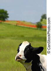 Funny cow - funny cow on a green field, funny cow