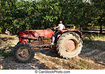 Old man driving in reverse his tractor through an orchard