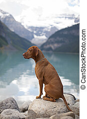 pure breed show dog - pure breed Hungarian Vizsla show dogg...
