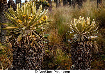 Two Espeletia Plants - Two espeletia plants in Nevado del...