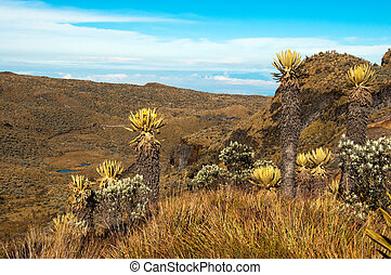 Landscape with Espeletia Plants - Landscape in Nevado del...