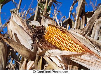 Ear of Corn - An ear of corn in a farm field ready for...
