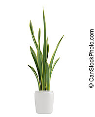 Sansevieria growing in a pot - Sansevieria, the snake plant,...