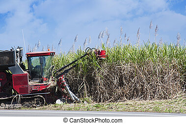 sugar cane cutting - a red cane harvester cutting sugar cane