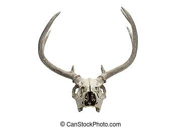 old deer skull
