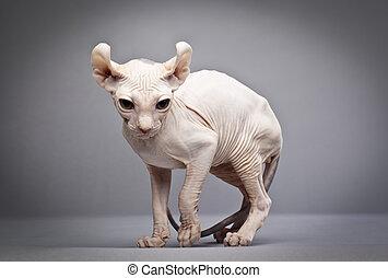 weird hairless cat