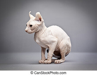 sitting hairless cat