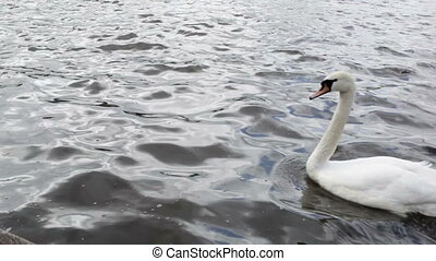 White swan on the Elbe river in Hamburg, Germany.
