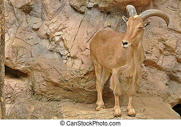Barbary Sheep stand 80 to 100 cm (2.6 to 3.3 ft) tall at the...