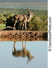 Kudu reflected in water at water hole