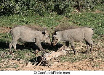 Warthog - warthogs at loggerheads in Addo Park, South Africa