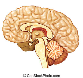 brain - cross sectional image of a brain