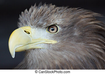 Sea Eagle / haliaeetus albicilla - Profile Of A Sea Eagle