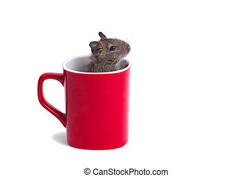 Degu in a Mug - Macro of a mug with degu inside isolated on...