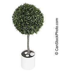 Myrtus topiary tree - Myrtus, or myrtle, topiary tree...