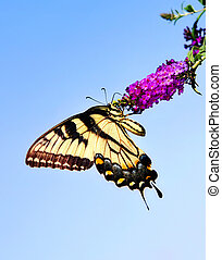 Eastern Tiger Swallowtail butterfly (Papilio glaucus) on...