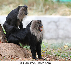Endangered and threatened endemic ape of india - lion tailed...