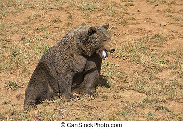 Big brown bear opening his mouth - A big brown bear in his...