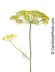 Dill flower isolated on the white background