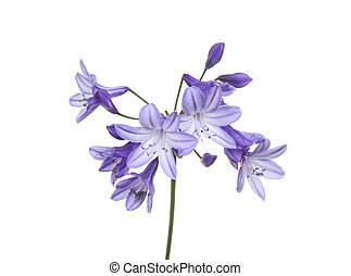 Agapanthus , African lilly, flowers isolated against a white...