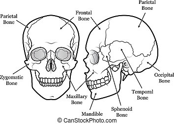 Skull Chart - Diagram of the human skull with labels