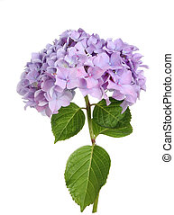 Hydrangea - Mophead hydrangea flower and leaves isolated...