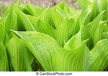 Hosta - New green hosta with water drops on leafs, close-up...
