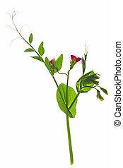 Sweet pea (Pisum sativum) - Blooming sweet pea (Pisum...