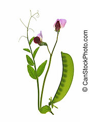 Sweet pea - Blooming sweet pea Pisum sativum with pod,...