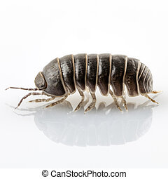 Pill-bug armadillidium vulgare species isolated on white...
