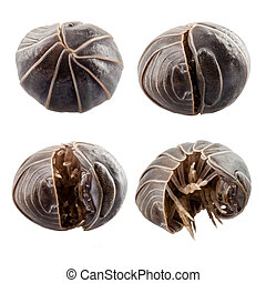 Pill-bug armadillidium vulgare species opening, isolated on...