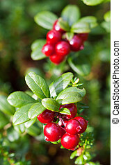 forest cranberries Bush of ripe berries a few red berries -...