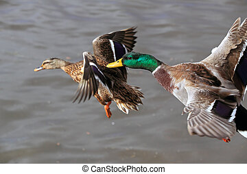 Mallard duck - Detailed photo of a wild duck in flight over...