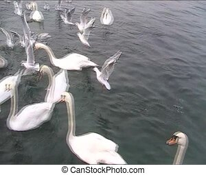 Birds of Lake Geneva - Lake Geneva and many birds - swans,...