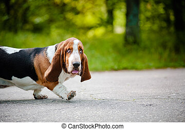cute dog Basset hound walking on the road - cute funny dog...