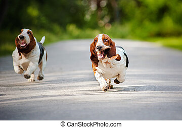 funny dogs Basset hound running - cute funny dogs Basset...
