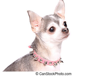Chihuahua dog portrait - Portrait of ute little grey and...